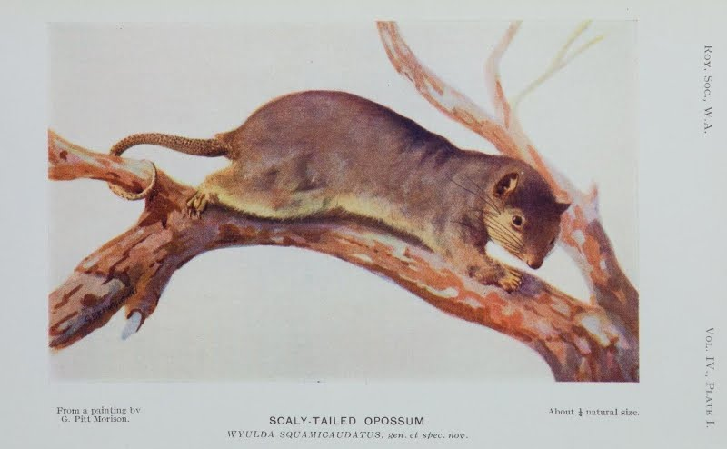 1920-ca - Painting of the Wyulda (Scaly-tailed Possum) by George Pitt-Morrison - Royal_Society WA - Journal thanks to BHL.au